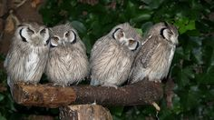 Oh for Pete's sake, Scops owls, I see you too.