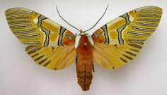 Decorated Beauty - Anaxita decorata Walker, 1855 (Tiger Moth Family Arctiidae)