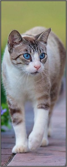 THOMAS - THE BEAUTIFUL CAT WITH BLUE EYES    #photo by clive wright #cat cats kitty kitten amazing beautiful omg aww