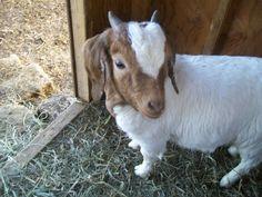My baby goat....Buddy!!!