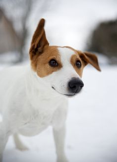 Winter, spring summer or fall. Are you going to throw the ball? I Love Dogs, Cute Dogs, Doggies, Dogs And Puppies, Jack Russell Mix, Tallest Dog, Parson Russell Terrier, Cutest Dog Ever, Jack Russells