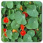 Organic Nasturtium Mix A mix of yellow, orange, rose and crimson flowers on trailing plants. Edible flowers and foliage are a gourmet treat reminiscent of peppery watercress in flavor. Long, trailing plants are perfect for hanging baskets, containers or in the garden. Lily pad-like leaves are just as attractive as the bright flowers. Plants will climb if tied to supports but prefer to hang. Vines can reach 10' long.  200 seeds/oz (Trapaeolum majus)  Days to maturity: 60 days