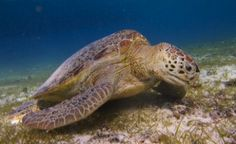 A green turtle grazing on seagrass in Indonesia (Photo by MJA Christianen).