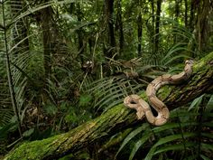 Facts about Congo Rainforest present the interesting information about the rainforest in Congo which spans around the Congo River. Most eastern areas of Congo Congo Rainforest, Rainforest Animals, Amazon Rainforest, Rainforest Pictures, Rainforest Biome, Jungle Animals, Snake Wallpaper, Forest Wallpaper, Hd Wallpaper