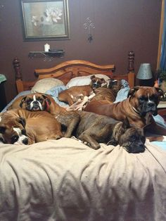 Boxer bed! Katrina, If you and I become old dog ladies this would be our bed!!