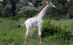 Omo the white giraffe who has been spotted roaming around Tarangire National Park, in Tanzania