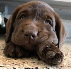 Most current Pics dogs and puppies labs Concepts Accomplish you're keen on your canine? Appropriate doggy care in addition to in Cute Dogs And Puppies, I Love Dogs, Doggies, Corgi Puppies, Funny Puppies, Cutest Dogs, Funny Pugs, Adorable Dogs, Baby Dogs