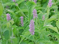 Anise Hyssop: Is a perennial herb that is known for its aniseed scented foliage. It has violet coloured flowers that bloom in July. The flowers are used in seasonings and for making teas.
