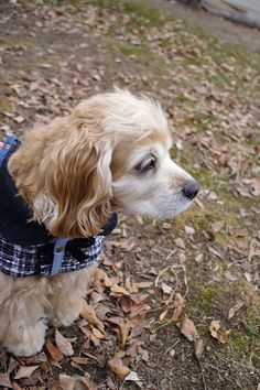 귀엽고 시크한 강아지 고양이 옷 코콜라 | CoCCoLa 코콜라 - 마이 리틀 트위드코트 제작 시작!
