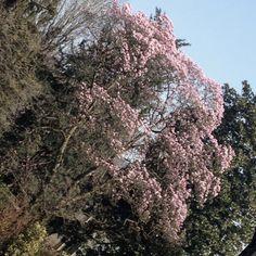Fioritura della magnolia in giardino