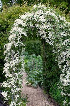 Clematis wilsonii 'Montana' I want to grow this white clematis up and through the big willow tree in the corner of our garden.