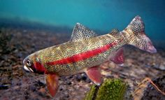 Stunning underwater trout photography, from rainbow and brook trout to brown trout, steelhead, and sockeye, featuring native habitats and rare species. Salmon Fishing, Trout Fishing, Fly Fishing, Fishing Tips, Fish Chart, Wood Fish, Fish Wall Art, Fishing Pictures, Fish Farming