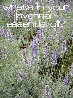 What's in Your Lavender Essential Oil?