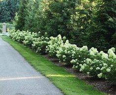 Hydrangea paniculata 'Jane'