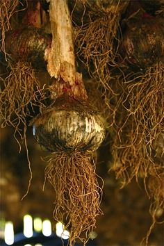 bernier garlic in the drying barn