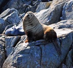 Stellar Sea Lion - Old man on Folger Island, Barkley Sound. Vancouver Island, Old Men, British Columbia, This Is Us, Lion, Sea, Animals, Beautiful, Animales