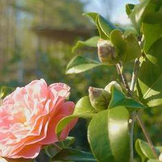 Take a stroll through our camellias... . . . . . . #gardensupplyco #shoplocal #garden #gardener #plant #flowers #winter #carync #raleigh #nc #nursery #visitnc #flowerstagram #grow #plants #nature #landscape #outdoors
