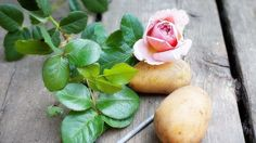 How to Take Rose Cuttings and Grow Roses in Potatoes. Propagating roses by cuttings is easy, and it brings certain side benefits. Gardening For Beginners, Gardening Tips, Organic Gardening, Roses In Potatoes, Transplanting Roses, Comment Planter Des Roses, Rose Potato, Grow Banana Tree, How To Grow Bananas