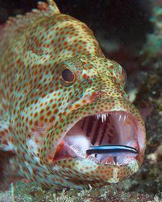 National Aquarium - Graysby