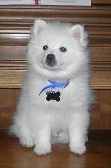 american eskimo dog. MAKE IT STOP!
