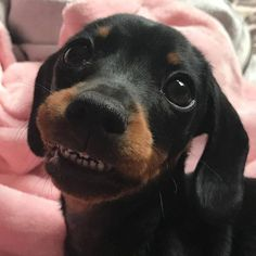 Weenie Dogs, Dachshund Puppies, Kittens And Puppies, Dachshund Love, Cute Puppies, Cute Dogs, Daschund, Doggies, Cute Baby Bunnies
