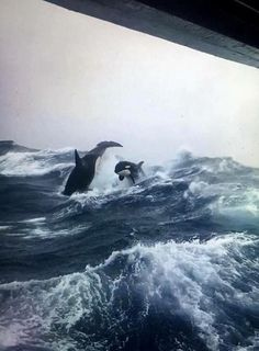 """Back To Nature on Twitter: """"Orcas breaching in rough seas, photo taken from a sword fishing boat off the coast of Nova Scotia… """""""
