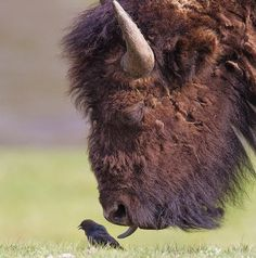 Bison checking out bird Cool