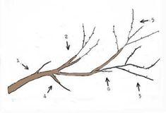 A gyümölcsfa részei,metszés kezdőknek