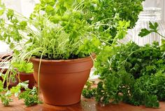 Parsley Grow it in a medium-large pot and keep that in a spot that receives part sun. In a moderate room temperature, you can grow it year round. Just propagate new plants time to time from cuttings and it will last forever in your indoor herb garden. Indoor Vegetable Gardening, Container Gardening, Gardening Tips, Growing Vegetables Indoors, Growing Tomatoes, Fresh Vegetables, Best Herbs To Grow, Edible Plants, Planting Seeds