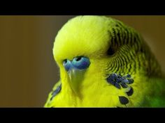 Extraordinary mimicking skills of a budgie - I've always loved Disco the budgie, if you look him up, his YouTube cute