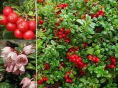 Lingonberry Seeds Mountain Cranberry Vaccinium by CaribbeanGarden