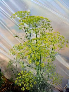 How to Grow Dill (and keep it from bolting).