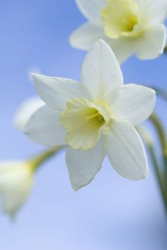 Narcissus 'Pacific Coast'. This deliciously scented daffodil makes a wonderful cut flower. Find out more about it at: http://www.gardenersworld.com/plants/narcissus-pacific-coast/4397.html Photo by Jason Ingram.