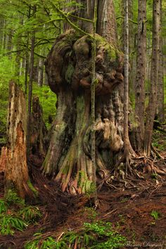 The Gnarly Giant by Thomas Dawson. In 'Avatar Grove' - an area near Port Renfrew on Vancouver Island, British Columbia.