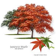 Fannin Japanese Red Maple Trees are not the same as other trees found at other Dallas area tree farms and are grown at our Japanese Red Maple Tree Farm. Trees And Shrubs, Trees To Plant, Tree Planting, Japanese Red Maple Tree, Fast Growing Trees, Landscaping Trees, Specimen Trees, Garden Trees, Forest Garden