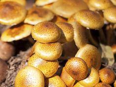 Toskanapilz Pretzel Bites, Stuffed Mushrooms, Bread, Vegetables, Food, Growing Mushrooms, Deli Food, Diy, Food Food