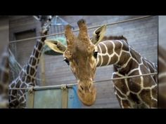 Published on 10 Feb 2014 CNN's Fred Pleitgen on why thousands are angry after a zoo in Copenhagen culled a healthy giraffe