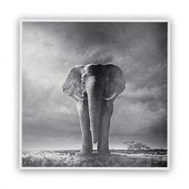 Black & White Elephant Walking in Grass Art Print by Chris Clor for Getty Images - 12