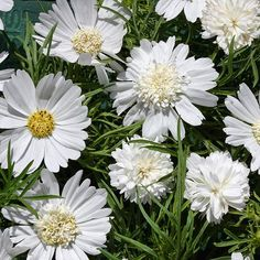 Cosmos White Pop Socks - Anemone shaped double and single flowers.