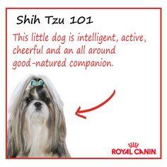 #shihtzu #dog