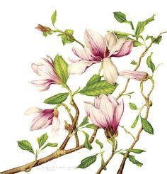 Pink Magnolia - Illustration