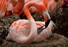 Caribbean flamingo and chick