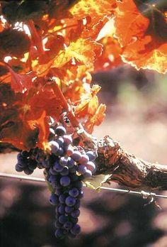 Napa grapes,  photo Brent Miller,winecountry.com