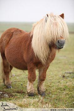Shetland Pony stallion named Pico.