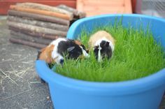 Kim & Aggie enjoying their grass dog bed :D Guinnea Pig, Diy Guinea Pig Cage, Baby Animals, Cute Animals, Small Animals, Classroom Pets, Guinea Pig Bedding, Pig Pen, Image Chat