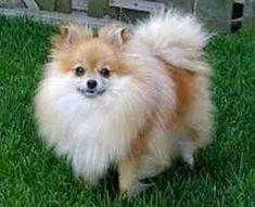 Google Image Result for http://dogbreedinsight.com/wp-content/uploads/2011/12/Pomeranian-puppies-12.jpg