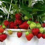Growing Strawberries Indoors Harvest