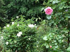Rose, Garden, Plants, Pink, Garten, Lawn And Garden, Gardens, Plant, Roses