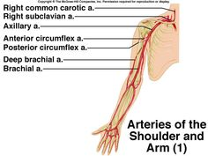 Arteries of the Arm
