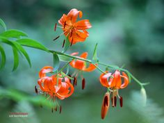 First wild lily of 2013 by LEE INHWAN